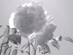 Weisse_Rose1
